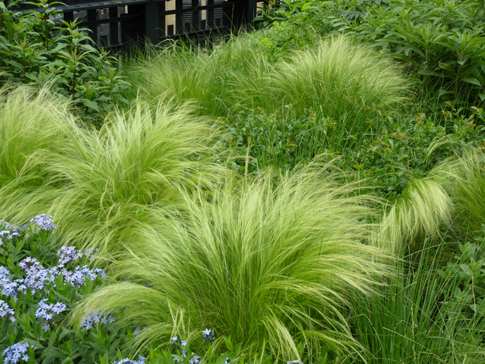 Gadsden Feather Grass